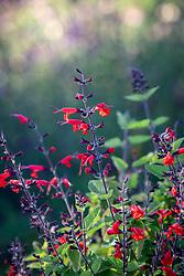 Salvia coccinea 'Forest Fire'