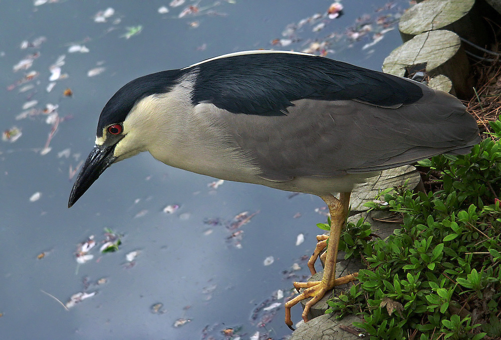 A night heron at the Japanese Gardens.