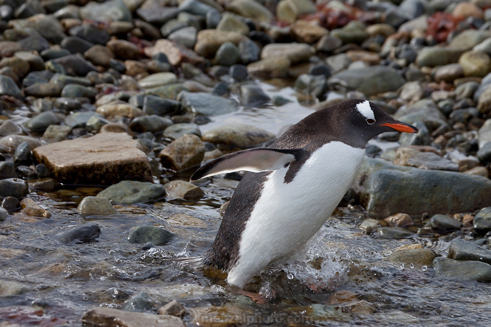 Cuverville Island, Antarctic Peninsula.  Nesting pairs on the Gentoo penguin colony on the island tend their eggs and chicks. They have to be vigilant to ward off skua birds that try to eat the eggs and chicks.