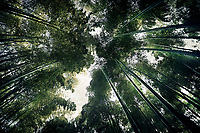 Arashiyama bamboo forest, dreamy skyward view of tree tops from below the converging bamboo culms. Kyoto, Japan.