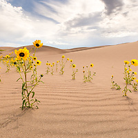 Seemingly out of place, a line of flowers jut out from the sand.  Great Sand Dunes National Park. © John McBrayer