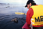 A southern sea otter (Enhydra lutris nereis) approaches a kayaker Gerry Ellis in Monterey Bay, California. Boaters are supposed to stay 100 yards from marine mammals, but in this case the otter approached and tried to enter the kayak. It was probably a animal that had been rehabilitated, and became accustomed ot being fed by people.