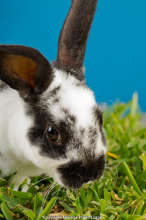 Young Rex rabbit