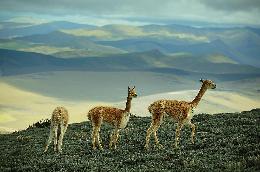 Vicunas at Chimborazo Volcano, Mountain, Andes Mountains, Ecuador