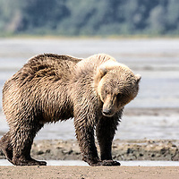 Alaska coastal brown bear, Chinitna Bay, Lake Clark National Park, Alaska