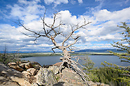 Dead tree at Inspiration Point viewpoint at Jenny Lake in Grand Teton National Park, Wyoming.