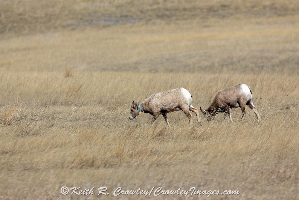Bighorn Sheep in Habitat Bighorn sheep ewe wearing radio telemetry collar
