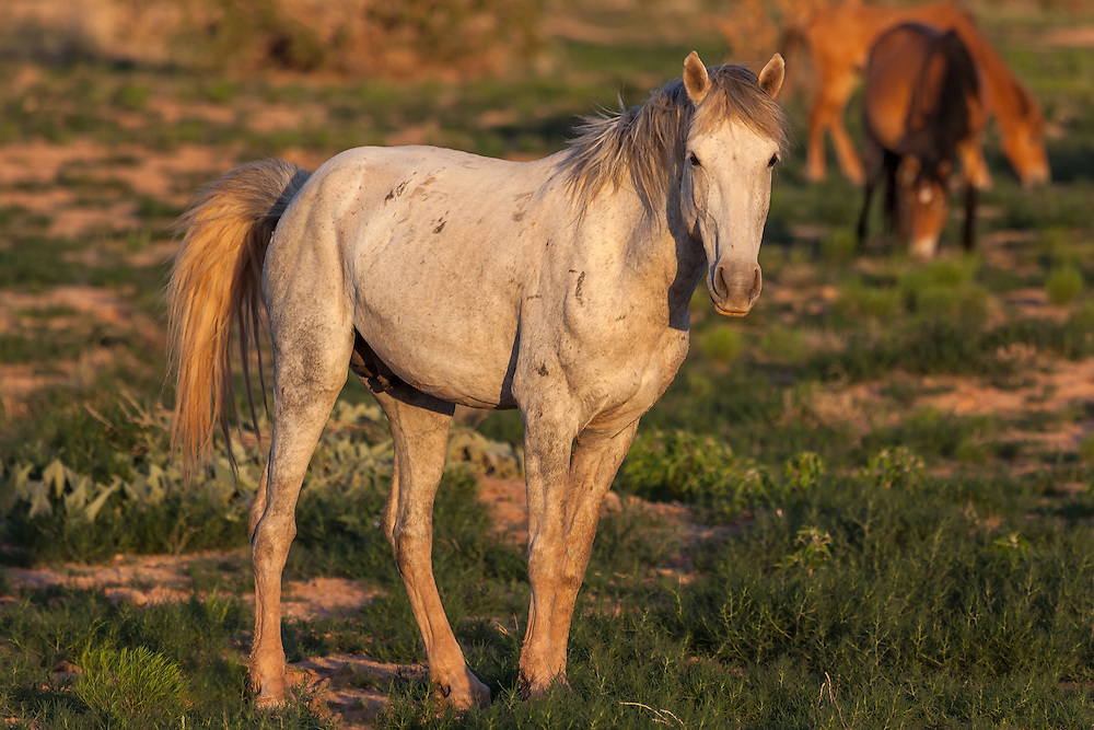 Battle-scarred stallion keeping watch over the herd, San Felipe Reservation, Sandoval County, New Mexico