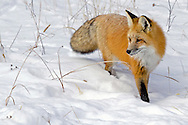 Although red foxes are common in the Greater Yellowstone Ecosystem, they are rarely seen due to their nocturnal habits and elusive nature. Winter is the best time to observe them since they are more likely to be actively hunting during the day.