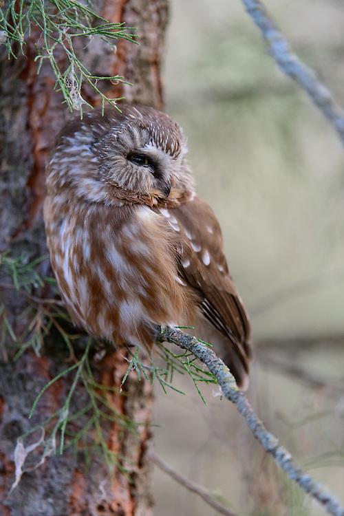 Northern Saw-whet Owl (Aegolius acadicus), Missoula, Montana