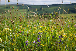 Field with yellow rattle, grasses and common milkwort.  Rhinanthus minor, Polygala vulgaris