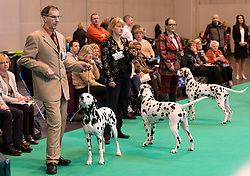 © Licensed to London News Pictures. 10/03/2016. Dog owners with their Dalmatian dogs on the judging show floor during competition . Crufts celebrates its 12th anniversary as the Worlds largest dog show. Birmingham, UK. Photo credit: Ray Tang/LNP