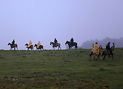 A group of cowboys. some wearing yellow rain slickers, head out to herd mother cows and their calves to the Kahua Ranch coral to brand, innoculate and castrate them on a rainy morning in North Kohala, Hawaii.  Despite the warm sea level temperatures in Hawaii, the weather is often brutal up country at 3,000 feet and higher where some of the best ranchland is.  Winds can blow at 60 miles an hour or more and temperatures can drop into the low 40's.