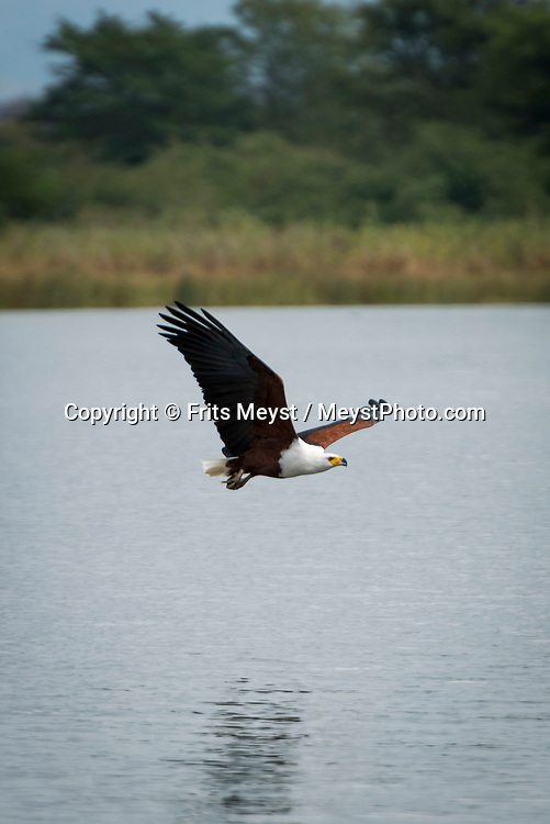 Malawi, July 2017. a Fish eagle soars over the river. FRom Mvuu Lodge one can explore Liwonde National Park through game drives and boat safari. Malawi is known for its long rift valley and the third largest lake in Africa: Lake Malawi. Malawi is populated with friendly welcoming people, who gave it the name: the warm heart of Africa. In the south the lake make way for a landscape of valleys surrounded by spectacular mountain ranges. Photo by Frits Meyst / MeystPhoto.com