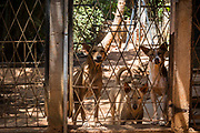 Several of nearly 170 rescued street dogs living in Eva Ruppel's Tikiri Trust shelter, look into an adjoining pen on the rural property near Kandy, Sri Lanka, on Wednesday, February 21, 2018. Ruppel does not cage the approximate 170 dogs she has rescued, allowing them freedom to roam and interact in small packs in multiple pens throughout her property, as well as inside her home. Ruppel created Tikiri Trust, with the financial assistance of her father, to rescue and rehome Sri Lanka's street dogs.<br /> <br /> <br /> It is impossible to visit Sri Lanka without seeing street dogs in nearly every public space, near hotels, guest houses and restaurants, schools, offices, markets, hospitals, police stations, bus terminals, railway stations, temples, etc. These dogs do not have their own homes, but they are usually highly tolerated and are typically fed collectively by people in a particular area.<br /> <br /> According to the NGO, Kandy Association for Community Protection through Animal Welfare (KACPAW), 100 unsterilized dogs will give rise to 3,000 dogs in one year. The Sri Lankan government, as well as several NGOs, work to spay/neuter animals, but there is need to educate the public and maintain funds to stay on top of their efforts.<br /> <br /> Eva Ruppel left Germany for a three-month visit to Sri Lanka, which included time in a Buddhist meditation retreat, and she remains in this island nation 37 years later.<br /> <br /> While married, Ruppel&rsquo;s husband asked that the couple keep only three dogs in their home at any one time, and she respected his wishes. This 60-something year old lost her husband to a ruptured brain blood vessel in 1995 when he was 51 years old, after nine years of marriage. After his death, she began rescuing more and more animals and she now lives with 170 dogs, plus a dozen or so cats.<br /> <br /> With the support of her father, she started Tikiri Trust. Her father passed away in 2011, and he left her an inheritance, which she continues to use to support her cause. <br /> <br /> Ruppel, who is fluent in German, En