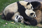 Giant Panda<br /> Ailuropoda melanoleuca<br /> 6-8 month-old cubs suckling<br /> Chengdu Research Base of Giant Panda Breeding, Chengdu, China<br /> *captive