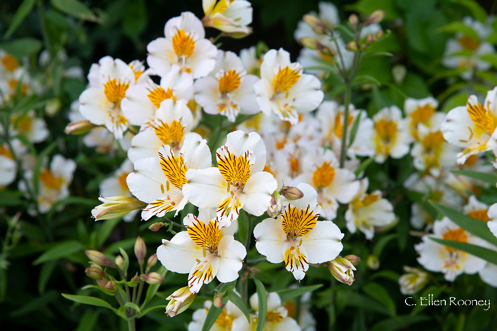 Yellow and white Alstroemeria in a border at Cothay Manor, Greenham, Wellington, Somerset, UK