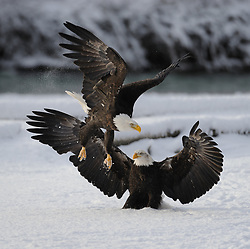 This photo is part of a sequence in which a bald eagle drags a salmon from the Chilkat River only to eat it in front of the eagle that it dragged it up to. In this image (twelfth of the twelve image sequence) one of the eagles has dropped to the ground and stands firm, chasing the other eagle away. The photo was taken in the Alaska Chilkat Bald Eagle Preserve near Haines, Alaska. During late fall, bald eagles congregate along the Chilkat River to feed on salmon. This gathering of bald eagles in the Alaska Chilkat Bald Eagle Preserve is believed to be one of the largest gatherings of bald eagles in the world.