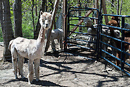 20110501 - Ice Pond Farms in Cranston, RI perform the annual shearing of their Alpacas. ..