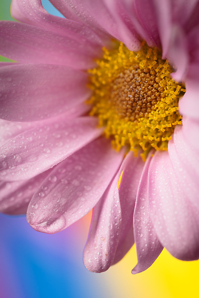 Floral study with macro lens, studio photography of flowers