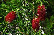 bottle brush shrub in bloom; red flowers; Florida