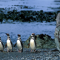 Chile, Magellanic Penguins (Spheniscus magellanicus) emerge from surf on Diego Ramirez Island, south of Cape Horn