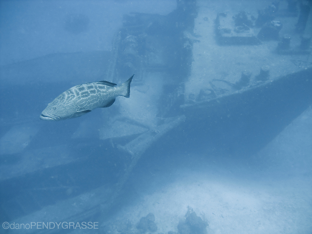 A large black (Mycteroperca bonaci) grouper guards a shipwreck in 110 feet of water off the island of Roatan in Honduras.