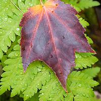 Maple leaf sits on wet still green fern branch, Sieur de Monts, Acadia NP, Maine