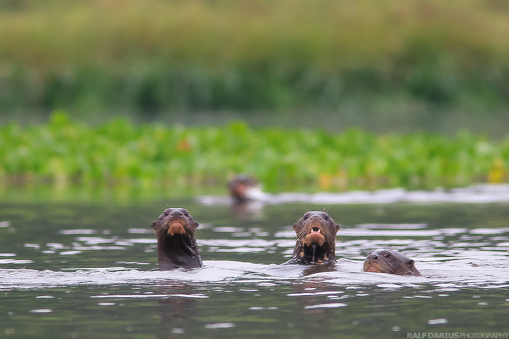 A group of giant otters in the Yasuní national park, Ecuador