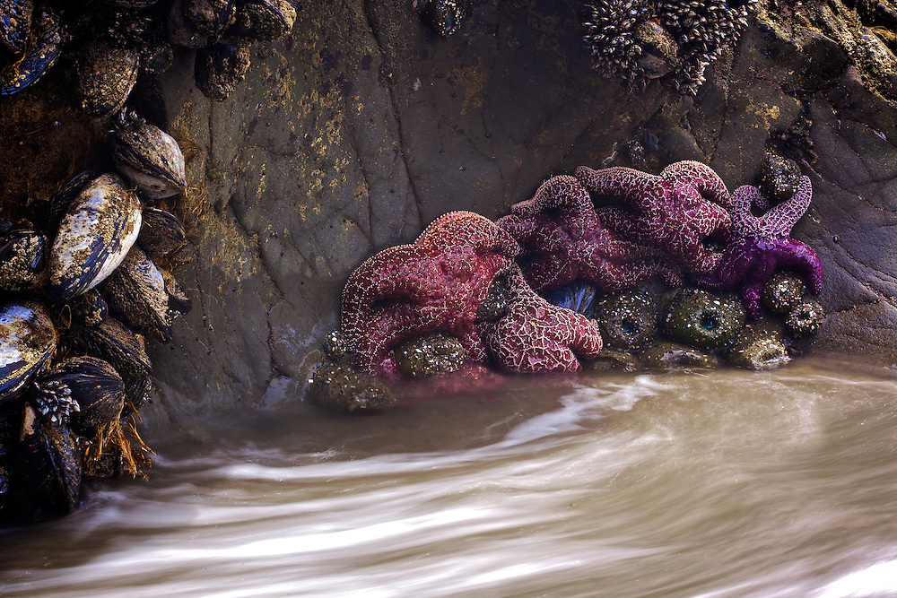 grouping of starfish clinging to rock at Muir Beach California during a super low tide