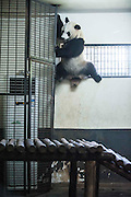 CHANGSHA, CHINA - JUNE 17: (CHINA OUT) <br /> <br /> Giant Pandas in Hot Weather<br /> <br /> Giant pandas Er Xi and Ya Yun stay near an air conditioner to defend the hot weather at the Panda hall of Changsha Ecological Zoo on June 17, 2013 in Changsha, Hunan Province of China. The two pandas had just arrived at Changsha by plane from Southwest China's Chengdu. <br /> ©Exclusivepix