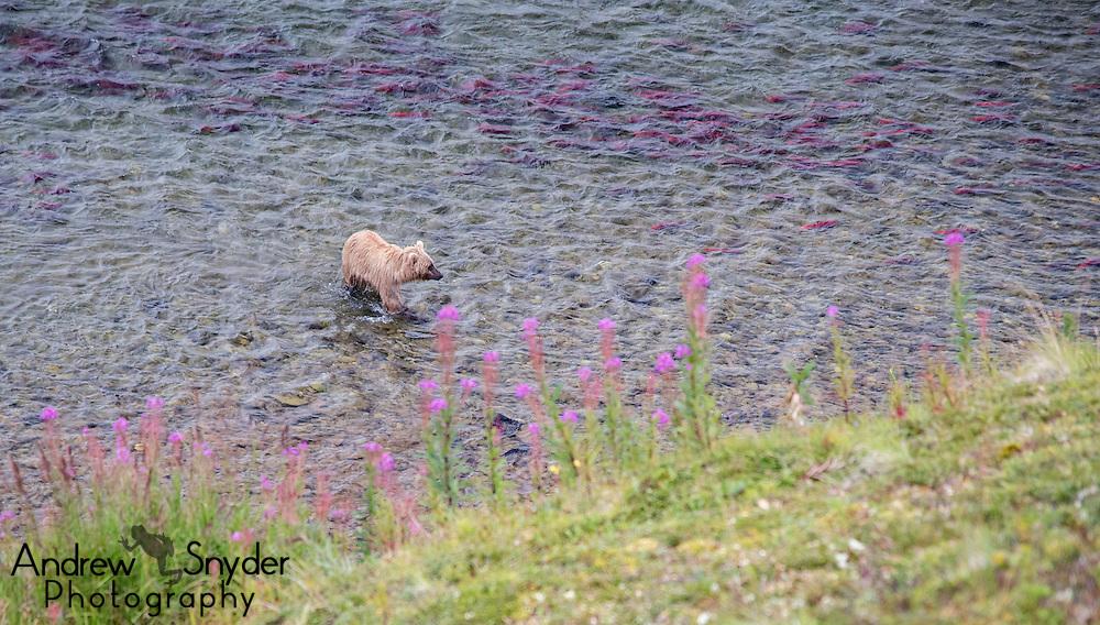 A brown bear (Ursus arctos) searches for nearby salmon - Katmai, Alaska
