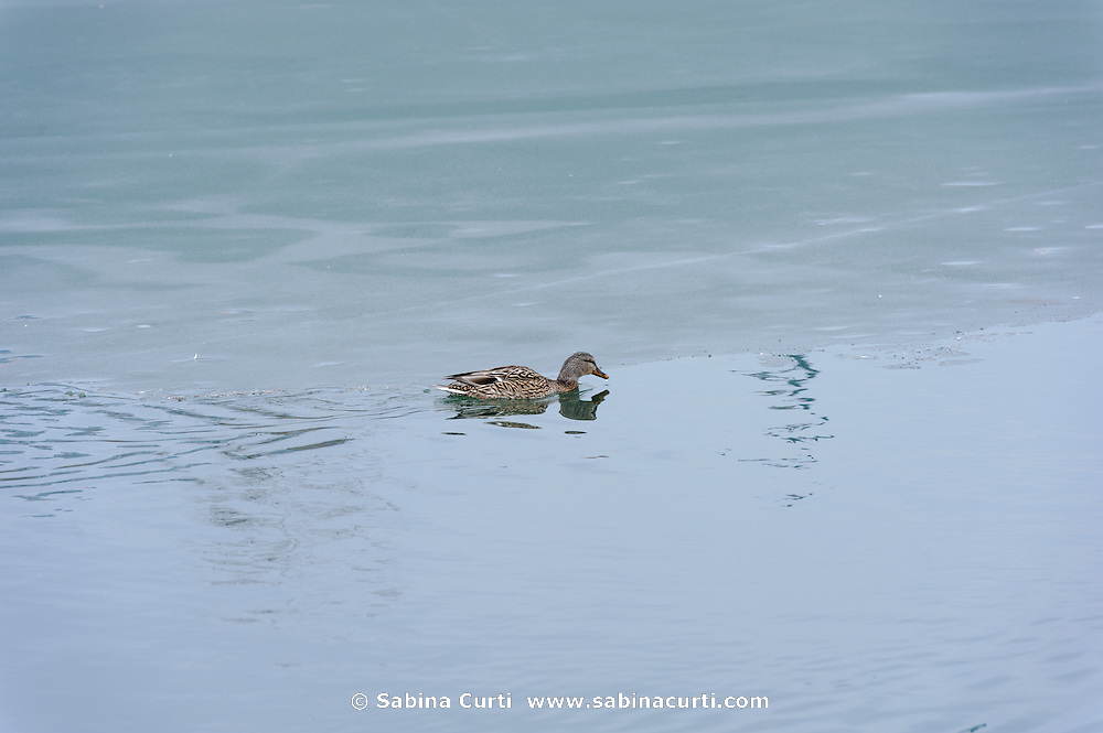 Female Mallard duck, Humber Bay Park