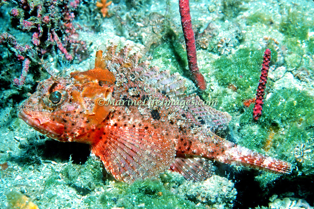 Barbfish inhabit reefs and areas of sand and rubble in Tropical West Atlantic, most common along continental coastlines; picture taken Venezuela, Margareta Is.