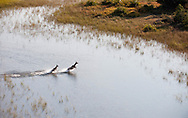Kudus crossing a channel, Okavango Delta, Botswana