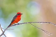 Vermillion Flycatcher, Southern California, North America