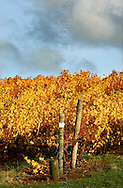 Copyright JIm Rice ©2013.GRAPE VINES..AUTUMN TASMANIA.AUSTRALIA
