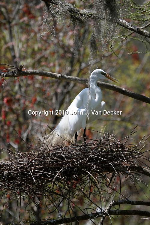 A Great Egret, Ardea alba, nesting in a rookery, Audubon Swamp Garden at Magnolia Plantation and Gardens, Charleston, SC