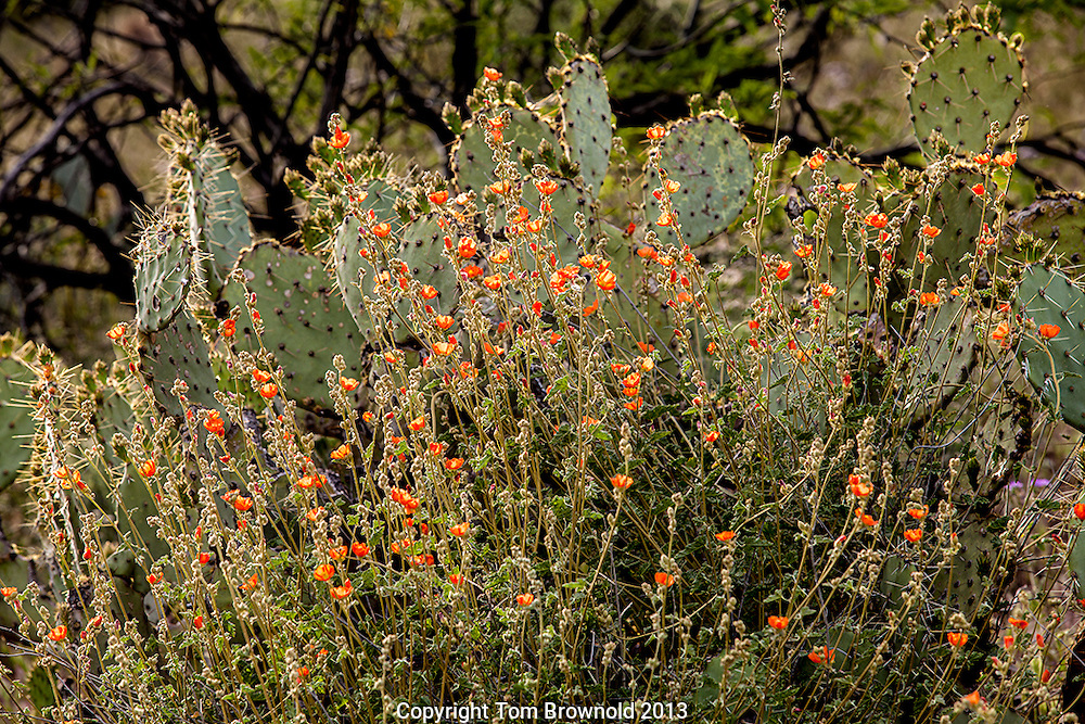 Globemallow (Sphaeralcea) in front of Prickley Pear