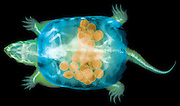 False Color X-ray of a snapping turtle (Chelydra serpentina). This particular turtle is a female and is full of eggs.  This specimen was collected after it was killed by a car – look closely at the x-ray and you can see extensive shell damage as well as a number of unlaid eggs. This freshwater turtle is found in wetlands throughout North America, from southern Canada to the Gulf of Mexico. An adult can have a shell length of around 45 centimeters.  They feed on whatever they can catch in their powerful beaks, including fish, birds, mammals, amphibians and carrion.