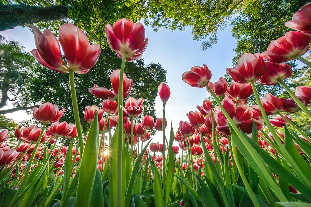 Vietnam Images-Flower-Spring -Hoàng thế Nhiệm