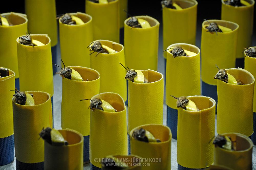 DEU, Deutschland: Biene, Honigbiene (Apis mellifera), Konditionieren von Bienen, dazu werden  Bienen in  Hülsen mit Klebeband fixiert, man stimuliert sie z.B. mit einem bestimmten Duft, danach wir ihr Zuckerlösung zur Belohnung angeboten, d.h. bei einer gelungenen Konditionierung streckt die Biene ihre Zunge heraus sobald sie den entsprechenden Duft wahrnimmt, in der Erwartung einer Belohnung in Form von einer Zuckerlösung, Bienenstation an der Bayerischen Julius-Maximilians-Universität Würzburg | DEU, Germany: Bee, Honey-bee (Apis mellifera), conditioning of bees, bees will be fixed with tape in little husks, then the bees will be stimulated with a special scent, right after they get a reward of sugar liquid, that means by a proper made conditioning the bee out-stretches it's tongue immediatly after it is aware of this special scent awaiting the reward, Beestation at the Bavarian Julius-Maximilians-University Würzburg
