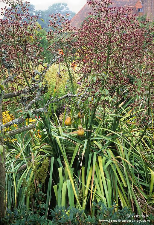 Eryngium pandanifolium and pears in the High Garden at Great Dixter