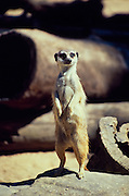 meerkat - keeping lookout (captive)