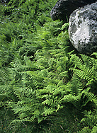 Lemon-scented Fern - Thelypteris limbosperma