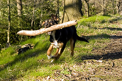 Aileen Wallace and Para Gliders 29th March 2009 © Paul David Drabble Small Black and Tan Mongrel puppy struggles with oversized stick while playing in the woods <br /> <br /> The Shroggs Wallace <br /> 20th March 2009 © Paul David Drabble