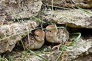 Red-Legged Partridge newborn chicks (French Partridge) Alectoris rufa,  The Cotswolds, UK