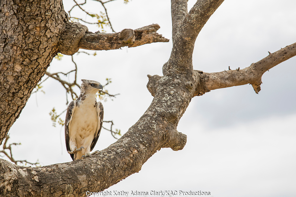 Martial Eagle; Polemaetus bellicosus; East Africa; largest African eagle; Tarangire National Park; United Republic of Tanzania