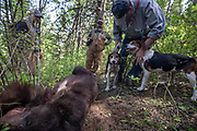White Dog (right) let's two of his Walker hounds take a closer look at Keith Crowley's bear taken hunting with hounds in Idaho, as Kelly Lee (center) and Evan Heusinkveld look on.