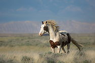 The wind always blows in Wyoming, but it's especially gusty at the McCullough Peaks Herd Management Area.  The bachelor stallion, Tonkawa, is used to the extreme weather on the range and trots into the wind as he returns to his band.